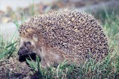 Roadkill statistics raise hedgehog fears